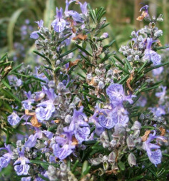 Image for <B>Sphagni Rosemary 50ml </B><I> </I>