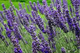 Image for <B>Sphagni Lavender 50ml </B><I> </I>