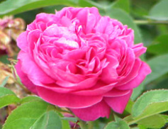 Image for <B>Sphagni Rose 50ml </B><I> </I>